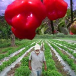 Jamaican farmer in Scotch Bonnet Pepper fields.